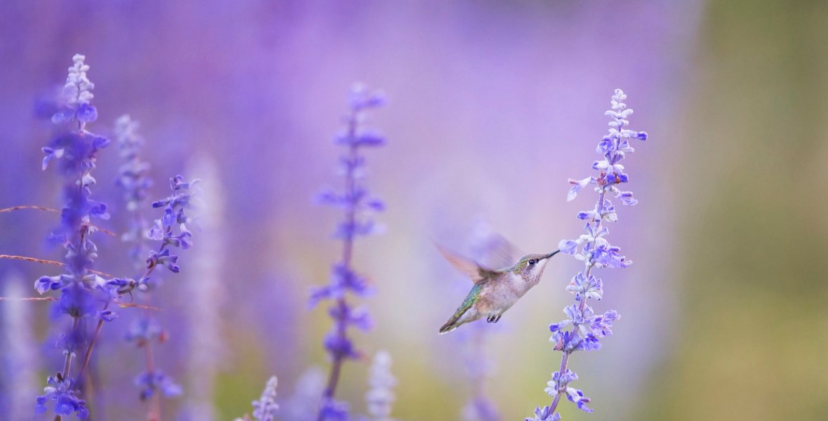 Hummingbird in Lavender Field